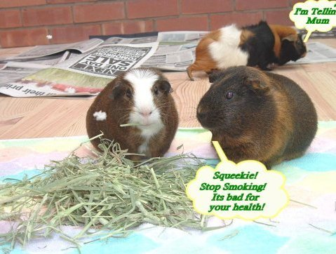 Here are a few fun photo's of my guinea pigs. So that each page loads ...