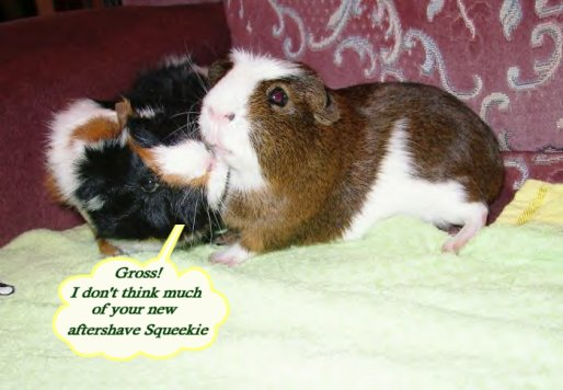 fun guinea pig pictures 2 even more fun pigtures enjoy