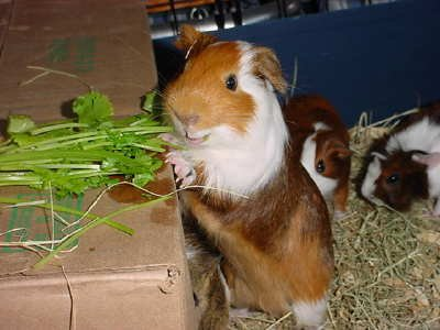 ... with a boy guinea pig at the pet store: my little baby was pregnant!