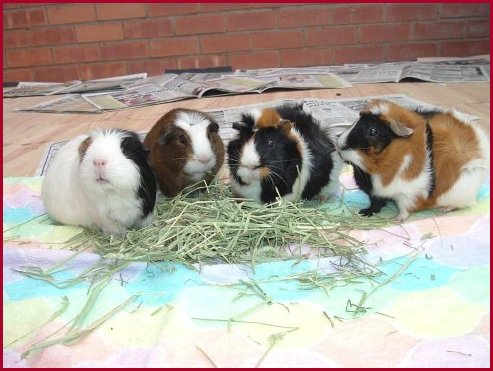 Guinea Pigs And Hay, Can You Use Timothy Hay For Guinea Pig Bedding