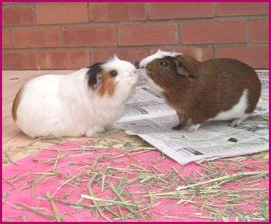 ... the higher the head raised is usually from the most dominant guinea pig.