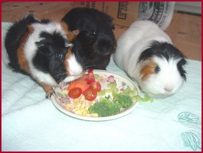 Guinea pigs: vegetables and fruits